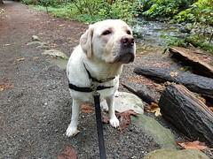 Gracie insisting on another swim (walneylad) Tags: gracie dog canine pet puppy cute lab labrador labradorretriever september fall autumn mahonpark
