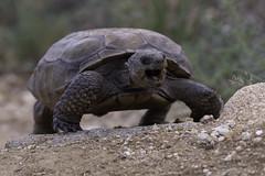 Desert Tortoise (Sean Stubben) Tags: nature wildlife outdoors desert tortoise arizona photography