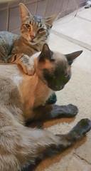 Boris e Miezi (ANNE LOTTE) Tags: cats katzen gatos friendship freundschaft amizade