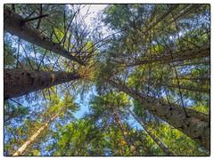 Linee di fuga (Enrico Moser) Tags: trentino autunno autumn lagorai alberi prospettiva bosco