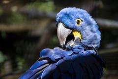 Pairi Daiza (Stacy.Enzo.Photography) Tags: pairidaiza nikon blue bleu oiseau zoo parc animal