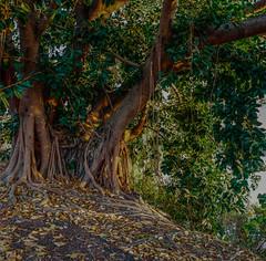 Morton Bay Fig in Morning Light (1 of 1) (Chris Reus-Smit) Tags: fig hasselblad 503cx film 50mm australia brisbane queensland nature landscape morning