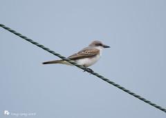 Kingbird (Tony CC Gray) Tags: kingbird birds tonygray canon floridakeys knightskey marathon florida