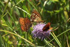 Liblikad (Jaan Keinaste) Tags: olympussh1 eesti estonia elusloodus fauna liblikas butterfly