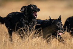 A9_01991 (msmedsru) Tags: labrador flat coated retriever dogs autumn norway