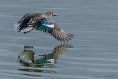 Shoveler on the Wing (MelRoseJ) Tags: sunnyvale california unitedstates us northerncalifornia birds nature bayarea northernshoveler duck