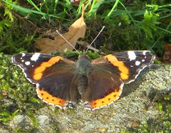 DIAMONDBACK (d p hughes) Tags: redadmiral vanessaatalanta butterflies bugs insects nature wildlife outdoor graveyards churchyards colour macro crewe cheshire