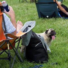 2018.08.18-14.56.38 (Pak T) Tags: boston bostoncommon concert dog massachusetts musicfestival pet pug tongue wers wickedgoodfestival