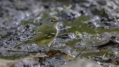 Cassin's Vireo (Bob Gunderson) Tags: birds california cassinsvireo goldengatepark mclarenlodge northerncalifornia sanfrancisco vireos