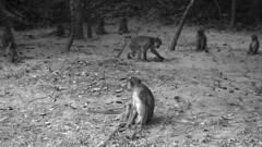 Monkey business  (ស្វា) (hasor) Tags: cambodia siem reap khmer asia southeast wat angkor monkeys animals monochrome wildlife
