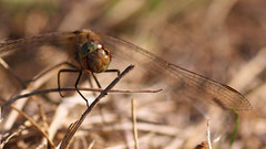 Probably the last one in 2018 (Visual Stripes) Tags: dragonfly odonata sympetrum insect invertebrate panasoniclumixg1 sigma105mm macro