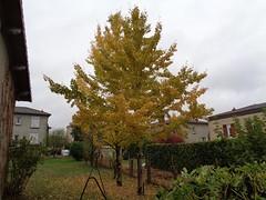 Ginko biloba l'arbre aux mille écus