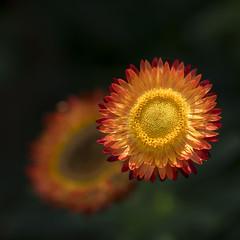 L'ombre de ton ombre ***-- °---° (Titole) Tags: squareformat everlastingflower two shallowdof immortelle orange thechallengefactory unanimous unanimouswinner challengegamewinner