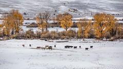 Early Snow Near Gunnison, Colorado, USA (Geraldine Curtis) Tags: snow gunnison colorado usa skiresort crestedbutte october fallcolours yellow gold firtrees mountain horse cattle