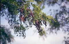 Locust Tree (Vakkor's Photostream) Tags: analog analogfilm film fujicolor expired expiredfilm c41 nature nikonn90s 50mm 5018 35mm superia200