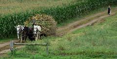 corn harvest (bluebird87) Tags: corn harvest nikon d7200 amish boy girl