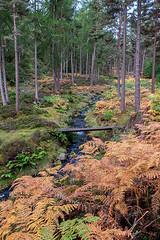 Autumn Advent (Geoff France) Tags: wood forest bracken fern conifers footbridge landscape scottishlandscape highlands scottishhighlands tulcan tulcanestate burn stream brook ghyll
