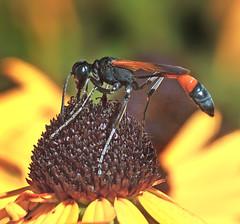 Narrow-Waisted Wasp Of Some Kind (Vidterry) Tags: waspe wespe narrowwaistedwasp
