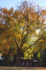 Tea House (arbivi) Tags: autumn fall foliage koyo momiji japanese maple tree red green orange yellow rikugien garden komagome tokyo japan canon 60d tamron arbivi raymondviloria