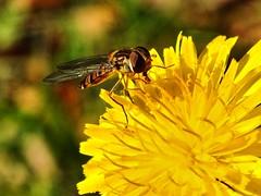 Scheinwespe beim Pollen essen. (W@llus2010) Tags: blume insekt nahaufnahme macro
