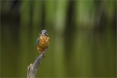 Alcedo atthis (Francesc //*//) Tags: alcedoatthis flix commonkingfisher blauet blavet bird pájaro ocell oiseau martínpescador martinpêcheurdeurope animal