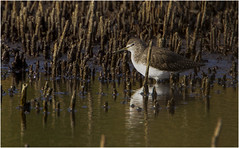 Green Sandpiper (Gary Watson) Tags: canon 7d cano500f4 1x4tc north norfolk cley walsey hills snipes marsh coastal
