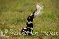 Eastern Spotted Skunk hand stand before spraying Tekiela TEK7960 (Stan Tekiela's Nature Smart Wildlife Images) Tags: allrightsreserved authornaturalistwildlifephotographer easternspottedskunkspilogaleputorius mammals vertebrates vertibrate mammalia fur hair terrestrial land animal minnesota unitedstatesofamerica usa naturesmartimagesbystantekiela stantekiela copyright allrightsreservered stockimage professionalphotographer images wildlife animals nature naturalist wild stockphotos digitalimages critter stockimages undercontroledcondtions handstand