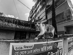 Dhaka Street #197 Admission going on (سلطان محمود) Tags: dhaka dhakastreet999 bangladesh camera cat walking wall building sky monochrome no xiaomi yi action wide bnw blackwhite pussy kitty tree outdoor day light