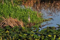 10-18-18-0038612 (Lake Worth) Tags: animal animals bird birds birdwatcher everglades southflorida feathers florida nature outdoor outdoors waterbirds wetlands wildlife wings
