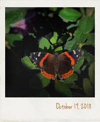 At the garden nursery. (jeanne.marie.) Tags: vanessaatalanta redadmiral autumn iphone7plus iphoneography polaroid orange butterfly