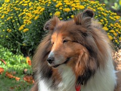 Our Sheltie - Rustle (J Price - Alabama) Tags: dog sheltie mansbestfriend light gentle softlight portrait dogportrait shetlandsheepdog bokeh flowers love agilitychampion agility ourdog ourpup rustle