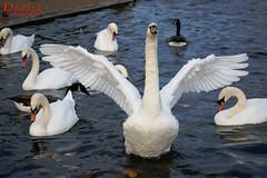 I am the boss ! (Daruz Photography) Tags: swans kensingtongarden hydepark streetphotography travelphotography londonpark london urbannature autumn2018 daruzphotography ngc