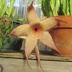 Stapelia grandiflora, carrion flower, starfish flower (Swallowtail Garden Seeds) Tags: stapelia stapeliagrandiflora carrionflower starfishflower succulents perennialflowers perennial creepyflowers unusualflowers