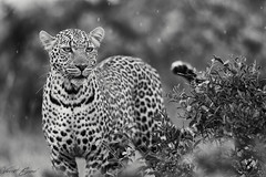 **Queen Luluka** (Vincent Chopard • Wildlife photographer) Tags: leopard africa adventure bigcat afrique masaimara kenya nikkor lens 400mm28 400mm wildlife photography wild animal portrait vincentchopard photographer