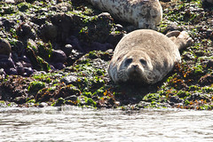 Curious Seal 1 (Bonsai_Photos) Tags: northamerica mammal starfish switchexp look holiday lie ocean algae seal journey trip hair wildlife curious pacificocean water watch travel outdoor vacation britishcolumbia eye shore snout relax marinelife marine fur nature furry funny cute animal fauna canada america tourism pacific labelred