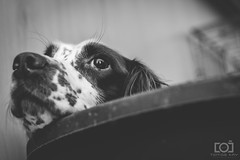 267/365 - Little Polo (Forty-9) Tags: spaniel springerspaniel dogphotography dog polo bw blackandwhite monday photoaday september 24thseptember2018 24092018 day267 267365 project3652018 3652018 2018 365 project365 forty9 tomoskay lightroom ef50mmf18ii eflens eos60d canon