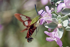 hummingbird moth (ucumari photography) Tags: ucumariphotography hummingbirdmoth insect flying tongue nectar north carolina nc august 2018 dsc5087 specanimal