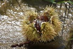 DSC_7025 (griecocathy) Tags: macro châtaigne piquants pierre rosée gouttelette eau éclat cailloux ombre herbe marron gris beige noir vert