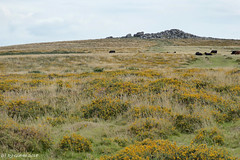 Cattle-grazed western heath (ExeDave) Tags: p1150629 top tor blackslade down widecombeinthemoor dartmoor devon sw england gb uk upland moorland heathland grazed landscape common commonland cattle western southwestern dwarfshrub heath h4 h8 september 2018 gorse ulex gallii birthday