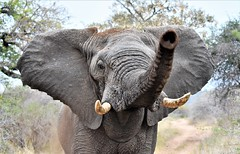 You will not pass! (pstone646) Tags: elephant wildlife africa southafrica nature animal closeup threatening safari fauna pachiderm bigfive