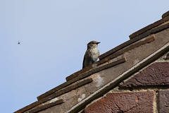 BG4A5954 It's Behind you (dwarren16011) Tags: spotted flycatcher rspb arne