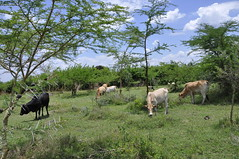 Cows grazing on a successful FMNR site in Homa Bay County, Kenya