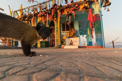 Yellow-throated-martin-temple (Praveen Purohit) Tags: photography nature wildlife wideangle wildlifephotography kartikswami temple himalayas mountains canon marten evening bells