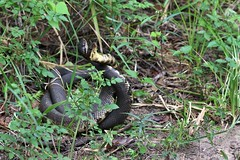 Cottonmouths. (rlbarn) Tags: snake cottonmouth reptile