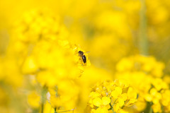 _DSC1006 (gael.lebrun56) Tags: fleur colza rape beez flower macro insect