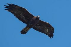 Steinadler 18010 (bertheeb) Tags: steinadler alpstein greifvogel vogel nikon d750 500mmvr