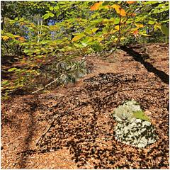 gileppe 4 (beauty of all things) Tags: belgien belgium jalhay gileppe hohesvenn autumn herbst leaves blätter quadratisch trees bäume