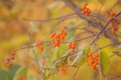 Autumn berries (elenashen5) Tags: berry autumn