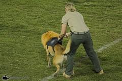 0W3A9376_v1web (PhantomPhan1974 Photography) Tags: ocpca ocpca30thanniversaryk9show gloverstadium anahiem k9 police sheriff canine lawenforcement