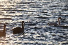 IMG_7875 (pekka.jarvelainen) Tags: joutsen swan vene auringonlasku sunset